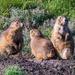 Trio of Prairie Dogs by photograndma
