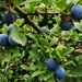 S is for sloes