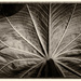 A leaf structure by haskar