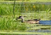7th Sep 2020 - Ms Wood Duck
