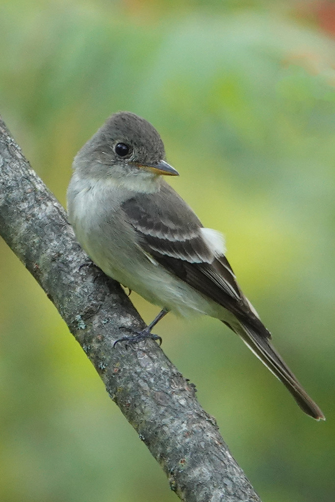 Eastern Wood-Pewee by annepann
