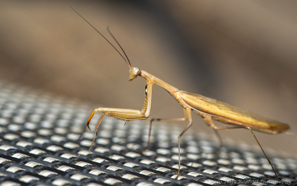 Thank You from Praying Mantis by taffy