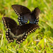 Butterflys Playing Chase! by rickster549