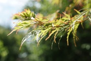 8th Sep 2020 - autumn leaves on the acer