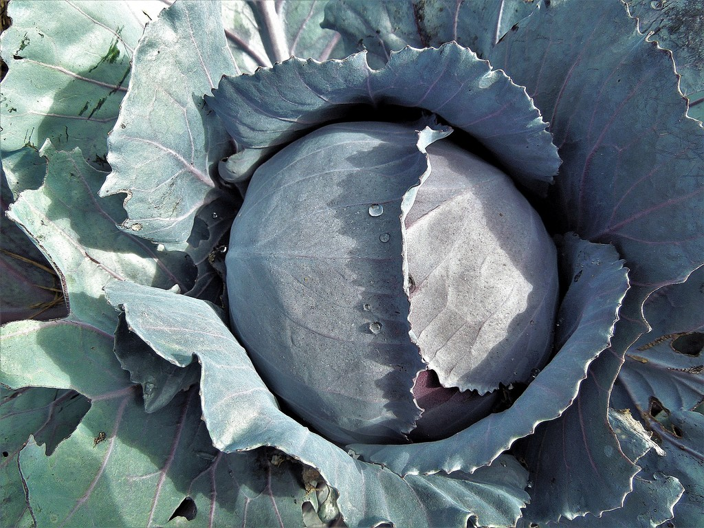 Red cabbage by etienne