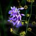 Purple tassles and sundews by glendamg