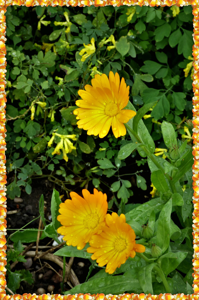 Marigolds  by beryl