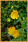 8th Sep 2020 - Marigolds