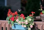 7th Sep 2020 - Hummingbird In Flight
