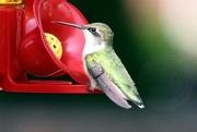 8th Sep 2020 - Hummingbird