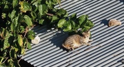 8th Sep 2020 - Cat on a hot tin roof