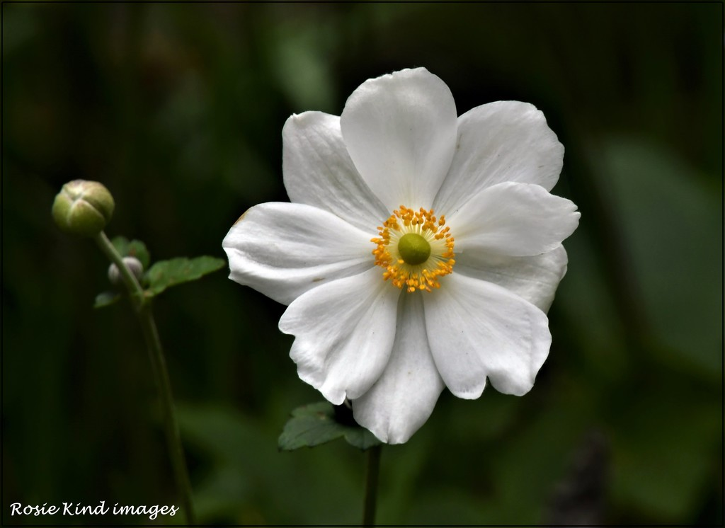 Japanese anemone by rosiekind