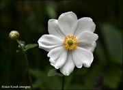 8th Sep 2020 - Japanese anemone