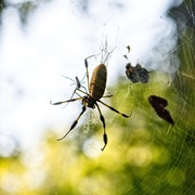 8th Sep 2020 - LHG-1401- Banana spider with her mate
