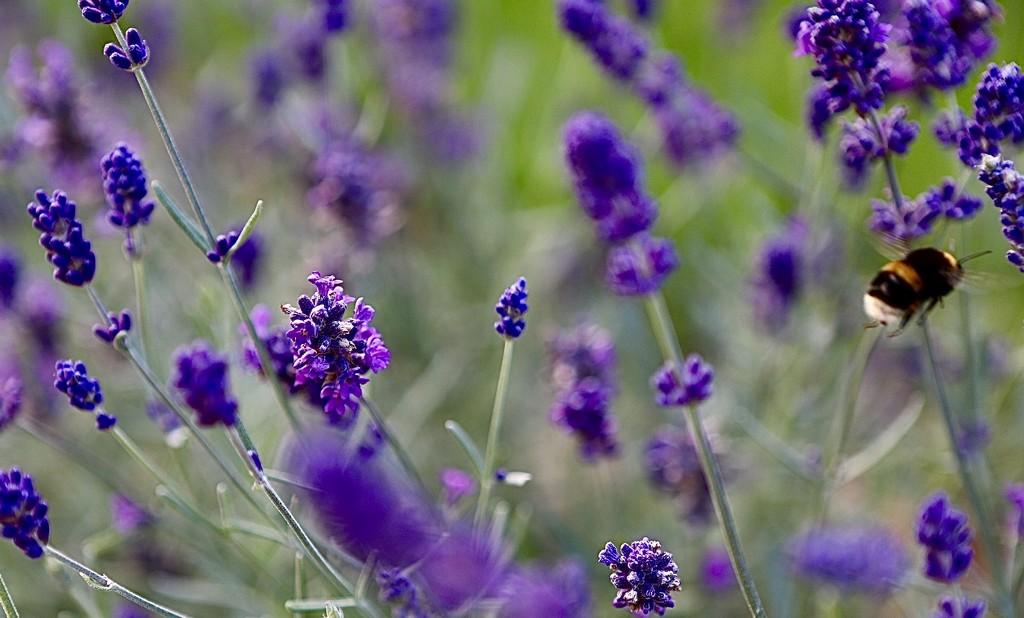 Lavender & Visitor by carole_sandford