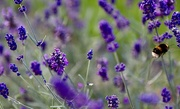 8th Sep 2020 - Lavender & Visitor