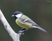 8th Sep 2020 - Male Great Tit
