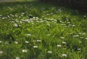 8th Sep 2020 - daisy a day