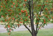 7th Sep 2020 - Mountain Ash Tree
