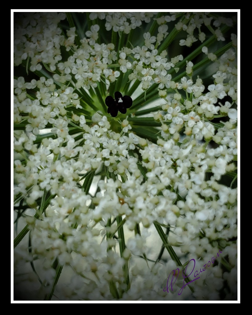 Queen Ann's Lace by flygirl