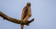 8th Sep 2020 - Red Shouldered Hawk with the Foot Tucked!