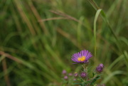 8th Sep 2020 - New England Aster - nf-sooc-2020