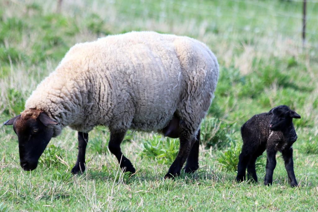 Baa baa black sheep by gilbertwood