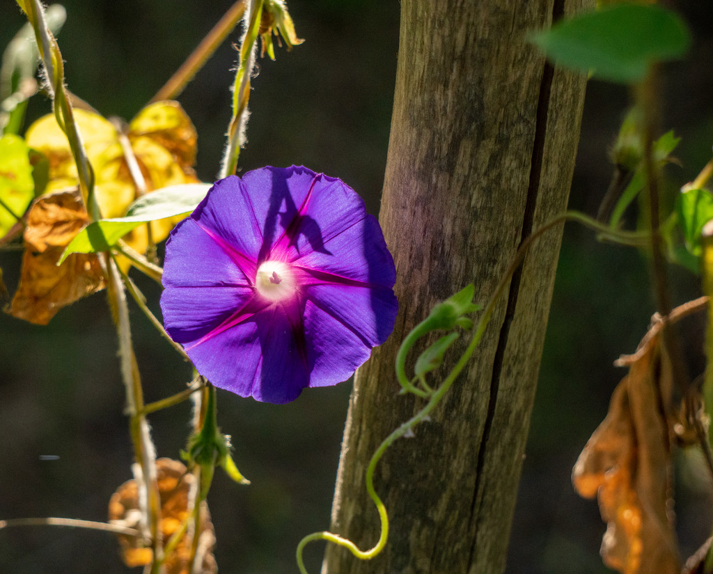 Morning Glory by bmaddock