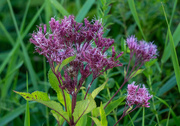 8th Sep 2020 - Ironweed