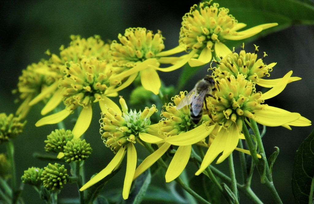 Goldenrod (and a bee) by mittens