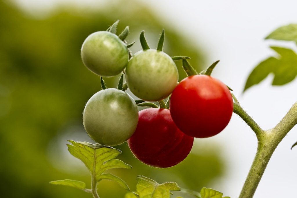 My Tomatoes by billyboy