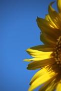 9th Sep 2020 - Sunflower