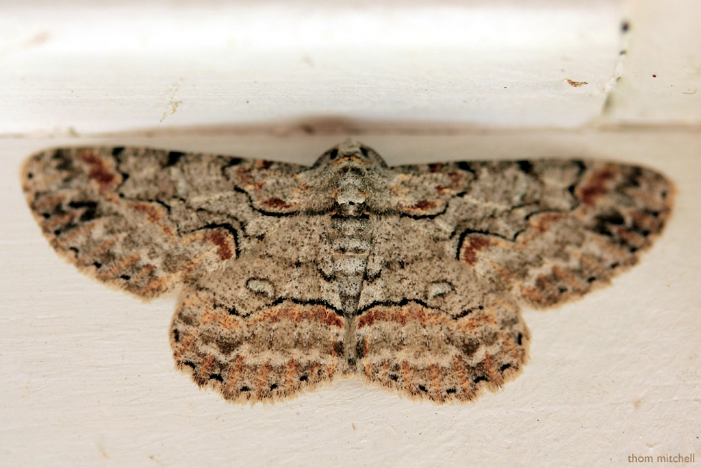 Brown-shaded Gray Moth by rhoing