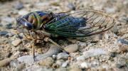 9th Sep 2020 - Cicada 2020