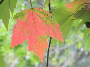 9th Sep 2020 - Maple Leaf