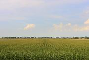 9th Sep 2020 - Corn field in the sun