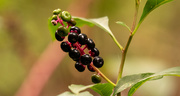 9th Sep 2020 - Pokeweed Berries!