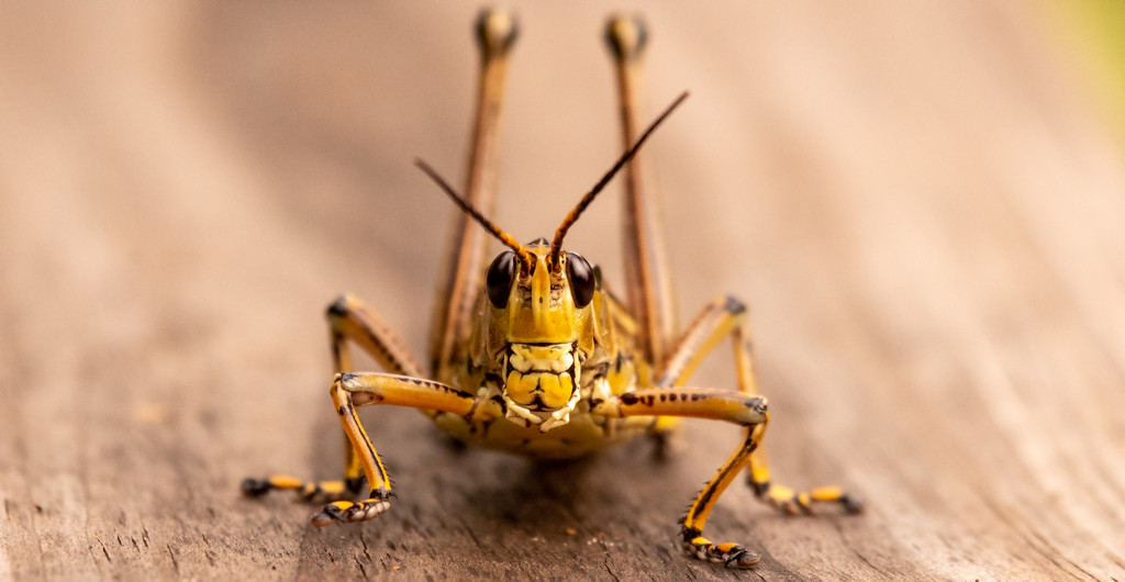 Eastern Lubber Grasshopper, Face-to-face! by rickster549