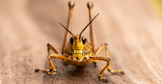 9th Sep 2020 - Eastern Lubber Grasshopper, Face-to-face!