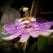 Passiflora incarnata... by marlboromaam