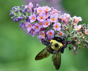 2nd Sep 2020 - The Bee on the Butterfly Bush