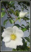 11th Sep 2020 - Pure white rose