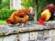 28th Aug 2020 - The Pecking Order