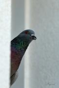 10th Sep 2020 - Hello Pigeon