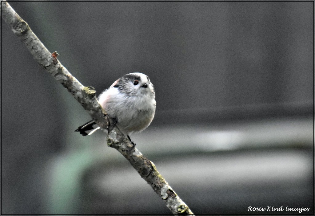 Long tailed tit by rosiekind