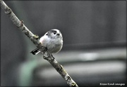 10th Sep 2020 - Long tailed tit