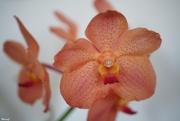 10th Sep 2020 - Vanda orchid
