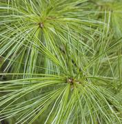 10th Sep 2020 - White Pine Needles 2