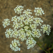 10th Sep 2020 - Queen Anne's Lace