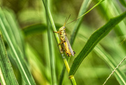 10th Sep 2020 - Striped Grasshopper